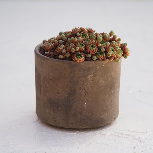TOKU - M - br - 多肉植物