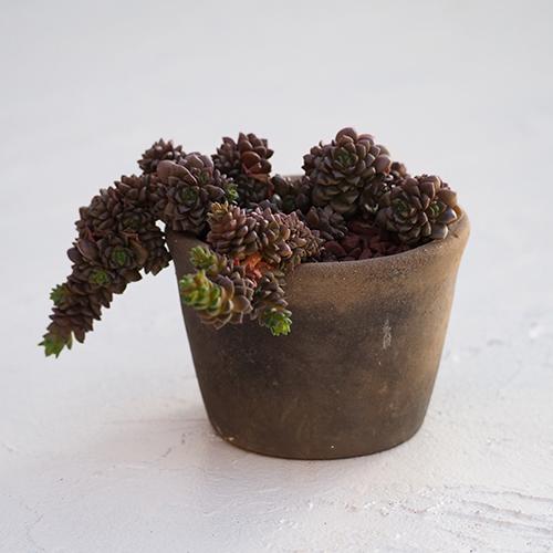 TOKU -S - br - 多肉植物