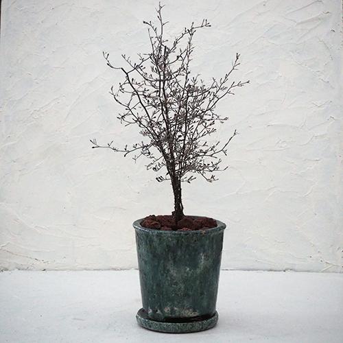 コロキアの木